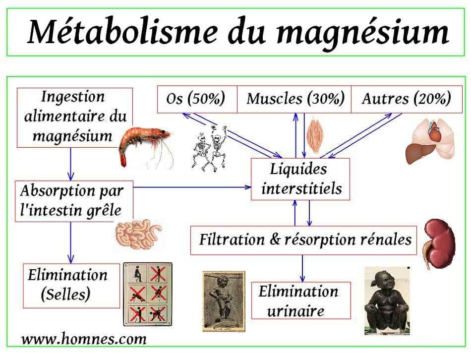 Métabolisme magnésium